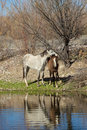 Wild horse mare and foal with her along the salt river in arizona Stock Image