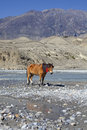 Wild horse on the mountain river bank in Nepal. Royalty Free Stock Images