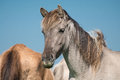 Wild horse portrait Royalty Free Stock Photo