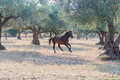 Wild horse running free fast and Royalty Free Stock Photography