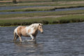 Wild horse swimming Royalty Free Stock Photo