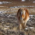 Wild horse on winter range Royalty Free Stock Image