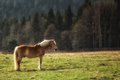 Wild horse on yellow green medow near forest gold the edge of european Stock Photography
