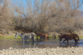 Wild horses crossing the salt river in arizona Stock Photo