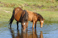 Wild horses drinking in pond Royalty Free Stock Photo