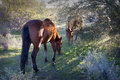 Wild horses in the early morning two arizona desert eating grass on an indian reservation Stock Photo