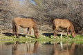 Wild horses grazing graze along the salt river in arizona Stock Image