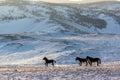 Wild horses grazing in the snow-covered steppe Tazheranskaya Royalty Free Stock Photo