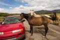 Wild horses inspecting a car in the desert