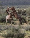 Wild Horses Lower Salt River Royalty Free Stock Photo