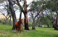 Wild horses in meadow a the snowy mountains australia Royalty Free Stock Photography