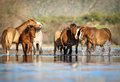 Wild Horses Mustangs in Salt River, Arizona