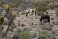Wild horses in the Nevada desert Royalty Free Stock Photo