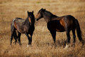 Wild Horses in Northern Nevada Royalty Free Stock Photo