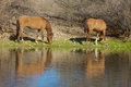 Wild horses reflected in the salt river in arizona Royalty Free Stock Image