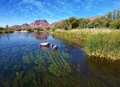 Wild Horses @ Salr River (Rio Salado) Arizona Royalty Free Stock Photo