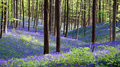 Wild Hyacinth in Hallerbos in Belgium Royalty Free Stock Photo