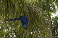 Wild Hyacinth Macaw Climbing D...