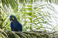 Wild hyacinth macaw on palm frond this happy looking yellow and blue is seated a pam in its natural habitat Stock Photos