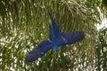 Wild Hyacinth Macaw, Sudden De...