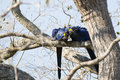 Wild Hyacinth Macaws Cuddling Royalty Free Stock Photo