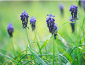 Wild hyacinth on a spring meadow Royalty Free Stock Images