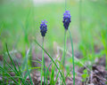 Wild hyacinth on a spring meadow Royalty Free Stock Image