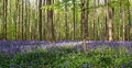 Wild hyacinths or blue bells in hallerbos in belgium sun shining over and white flowers Stock Photos