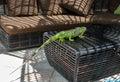 Wild iguana Royalty Free Stock Photo