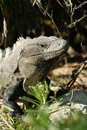 Wild iguana portrait Stock Photography