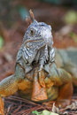 A wild iguana wandered around in a garden Royalty Free Stock Images
