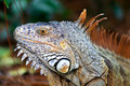 A wild iguana wandered around in a garden Royalty Free Stock Photography
