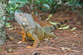 A wild iguana wandered around in a garden Royalty Free Stock Photos
