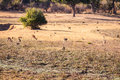 Wild impala Royalty Free Stock Photo