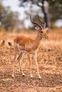 Wild impala Royalty Free Stock Photo