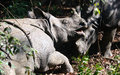 Wild India rhinoceros or greater one-horned rhinoceros in Nepal`s Chitwan National Park