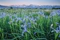 Wild Iris Flowers With Mountains Royalty Free Stock Photo