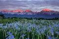 Wild Iris Flowers With Sunrise Mountains