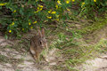 Wild Jack Rabbit Royalty Free Stock Photo