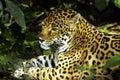 Wild jaguar Stock Photos