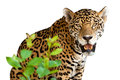 Wild jaguar isolated over white Royalty Free Stock Image