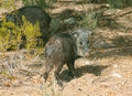 Wild javalina hogs pigs called foraging for food in the desert of arizona Royalty Free Stock Images