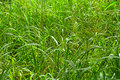 Wild jungle grass grows long and tall in an african Stock Photography