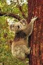 Wild koala climbing Eucalyptus tree Royalty Free Stock Photo