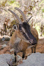 Wild kri kri goat in samaria gorge crete greece one of the last remaining Stock Images