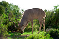 Wild kudu a in africa Royalty Free Stock Photography