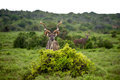 Wild kudu a in africa Royalty Free Stock Photos
