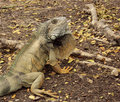 Wild land Iguana in Ecuador Royalty Free Stock Image