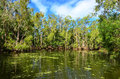 Wild landscape of gum trees grow on a river lagoon in Queensland Royalty Free Stock Photo