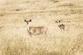 Wild lebende tiere buck animals sepia tone vintage Stockfoto